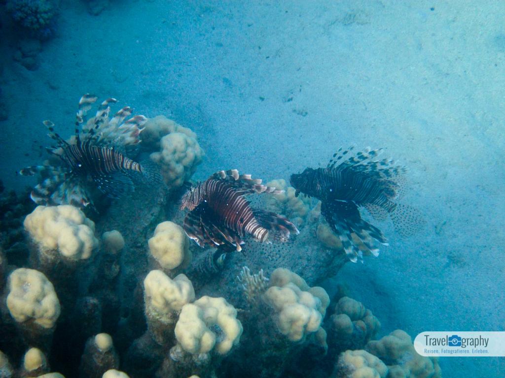 Feuerfische in der Bucht von Abu Dabab