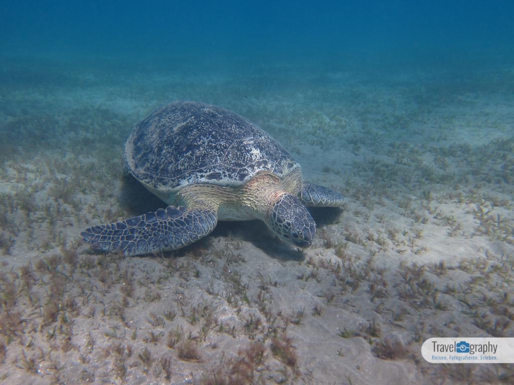 Meeresschildkröte Abu Dabab