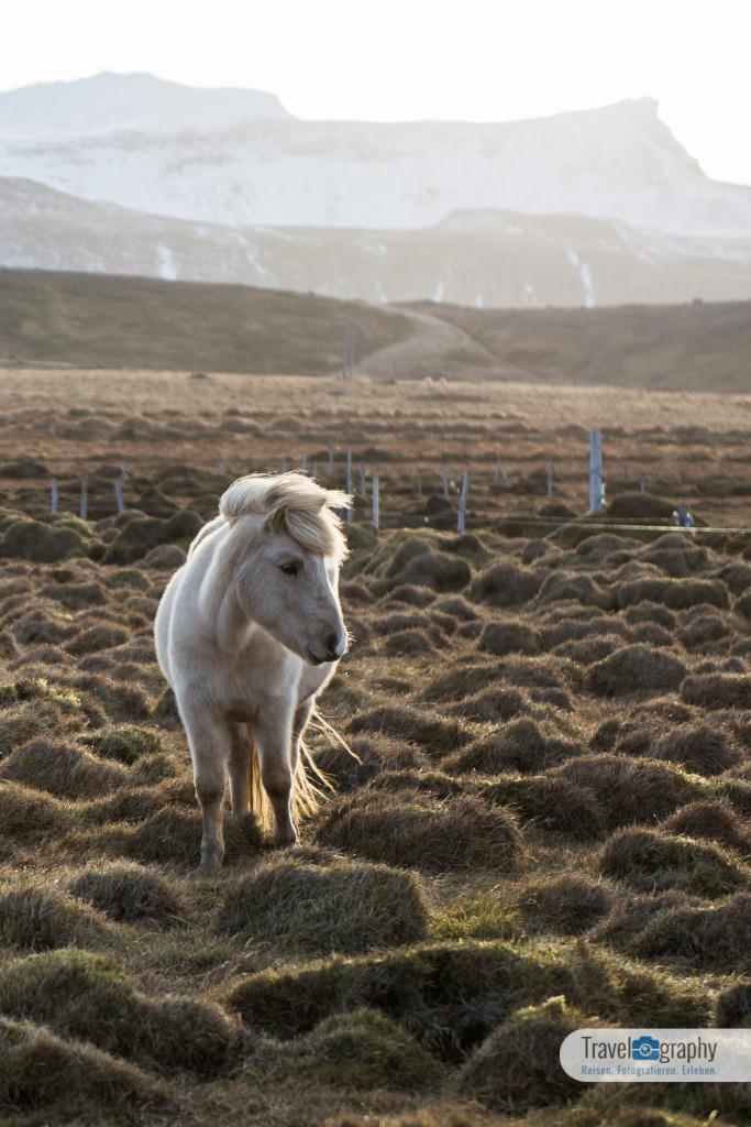 Islandpferd