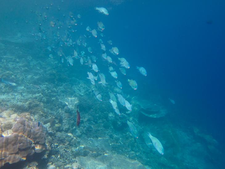 Schwarm Papageienfische