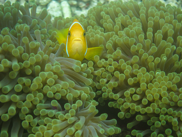 Anemonenfisch vor Athuruga