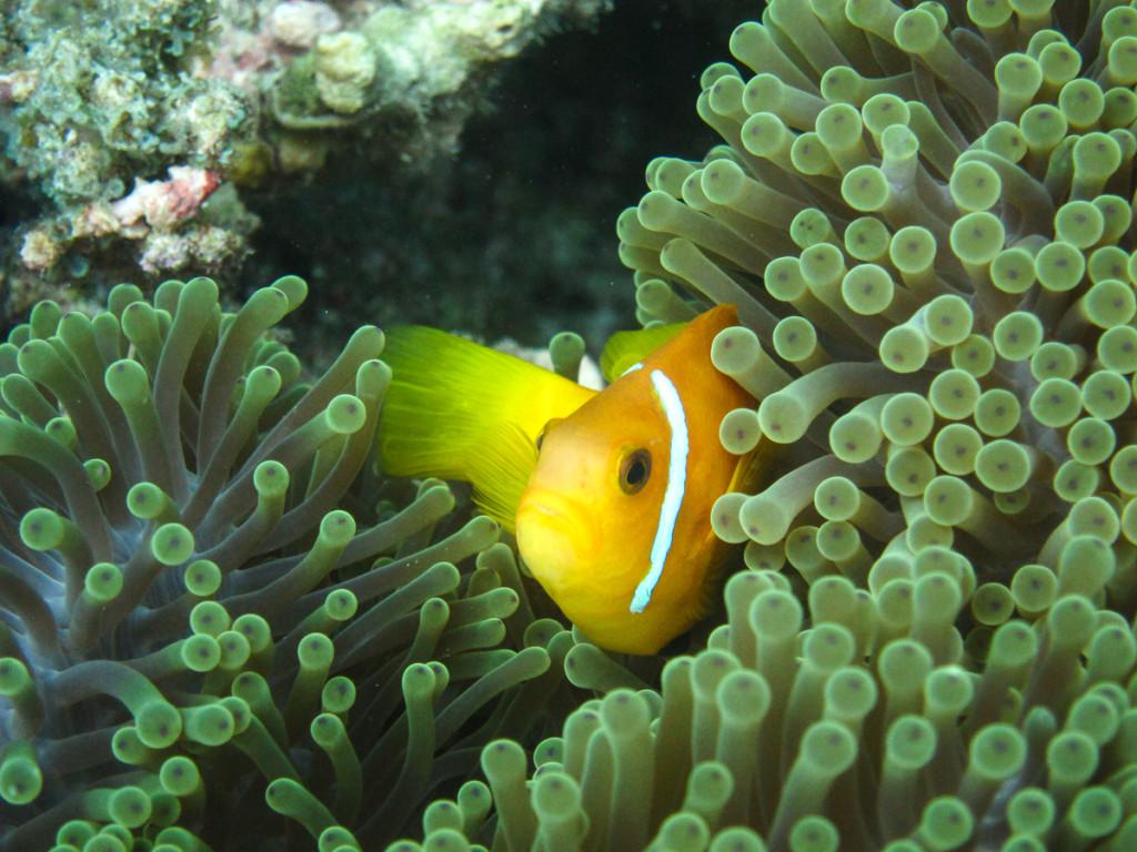 Maledivischer Anemonenfisch
