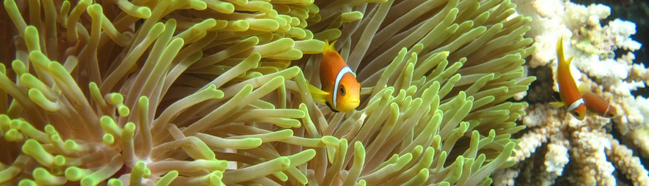 zuhause bei den anemonenfischen
