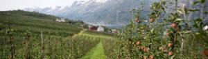 Norwegen: Die Äpfel von Ullensvang