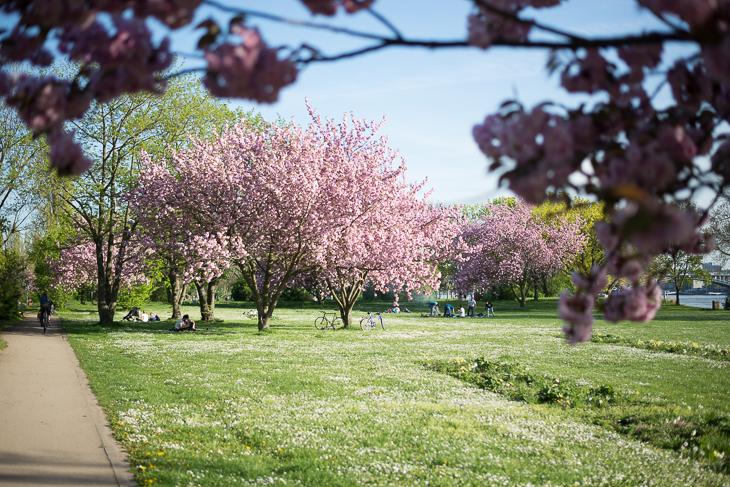 Kirschblüte am Rhein