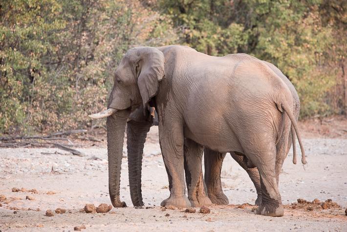 Wüstenelefanten im Game Reserve der Hobatere Lodge