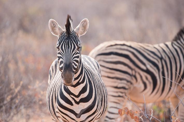 Zebra im Etosha: ISO 450 - 600 mm - f9.0 - 1/500 Sek.
