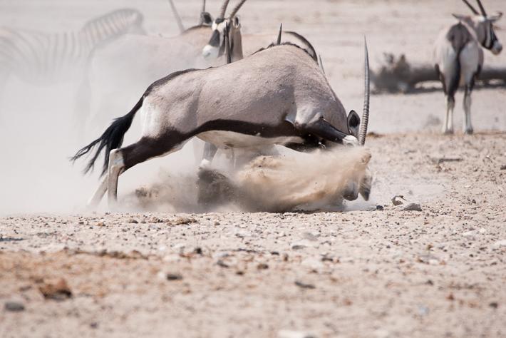 Duellierende Oryx