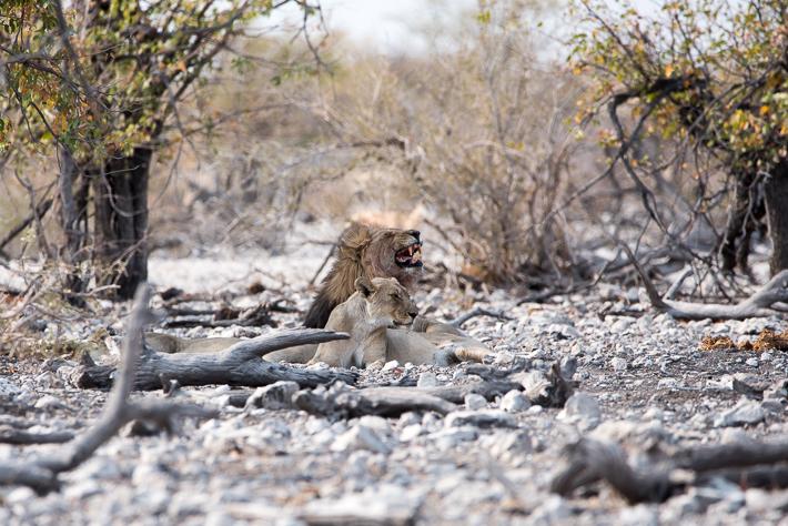Zwei Löwinen und ein Löwe - Wahnsinn!