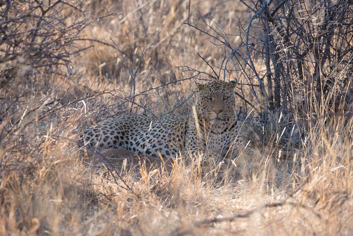 Leopard im Okonjima Game Reserve