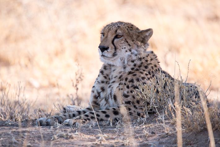 Gepard im Okonjima Reservat: ISO 450 - 600 mm - f8.0 - 1/500 Sek.