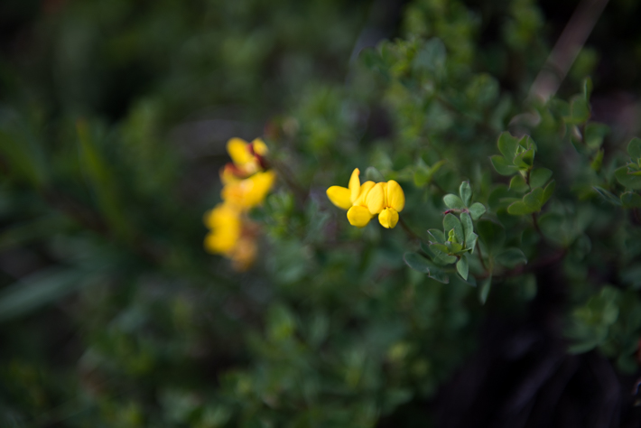Blumen in der Norwegischen Wildnis