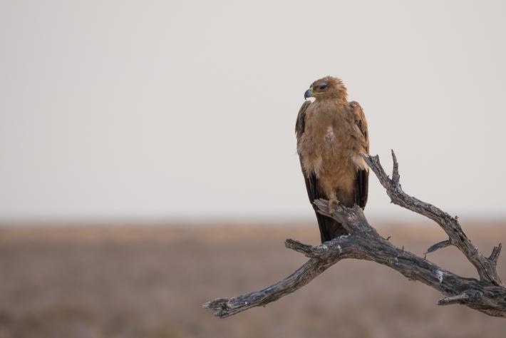 Adler im Etosha Nationalpark