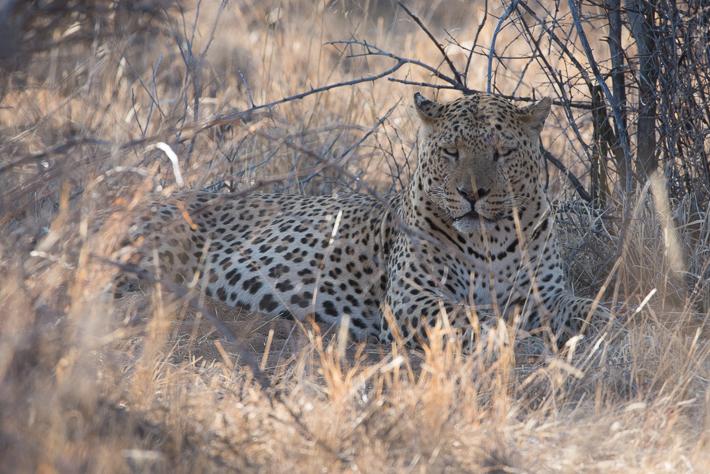 Im Angesicht - ein Leopard der AfriCat Stiftung