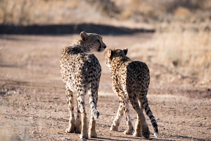 Unsere erste Begegnung mit Geparden