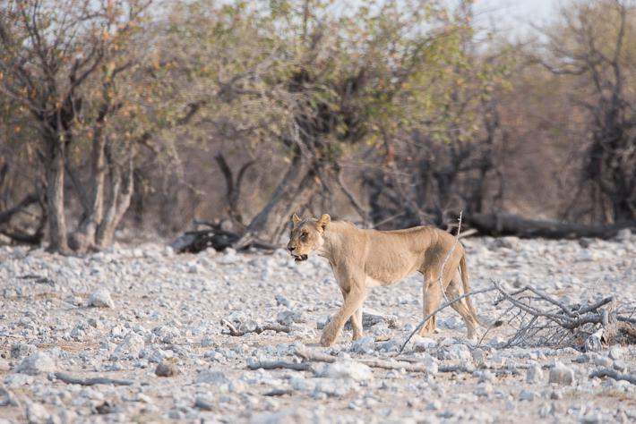 Löwin im Etosha Park