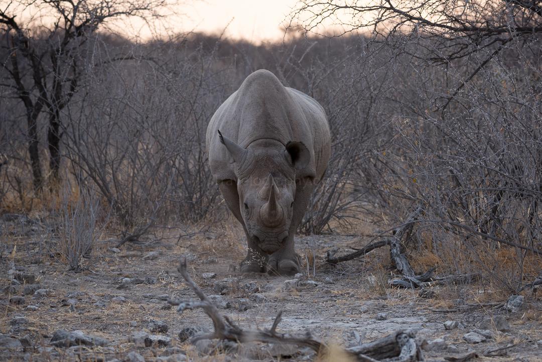 Nashorn im Etosha Nationalpark