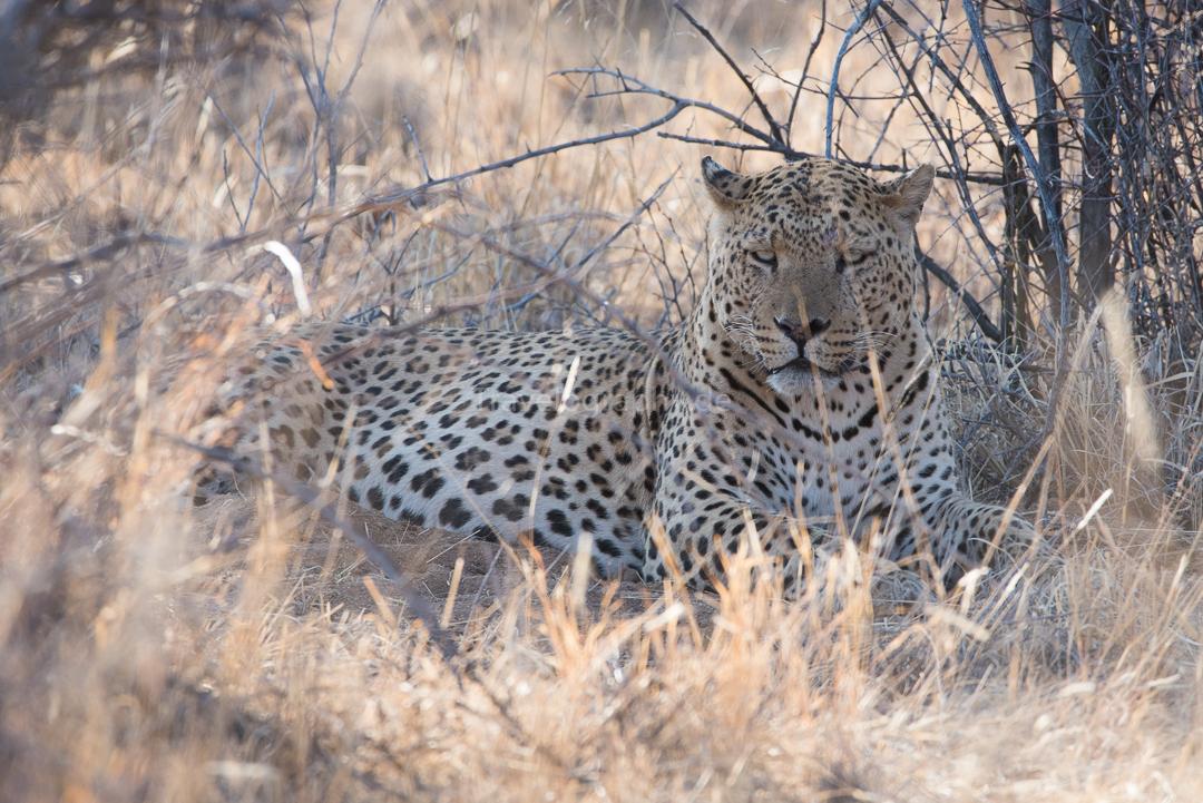 Was ein tierisches Erlebenis! Die Begegnung mit einem Leopard