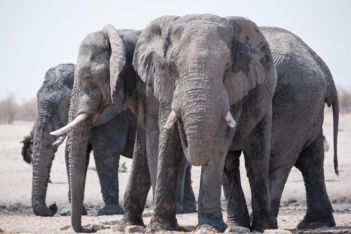 Elefanten im fahlen Tageslicht