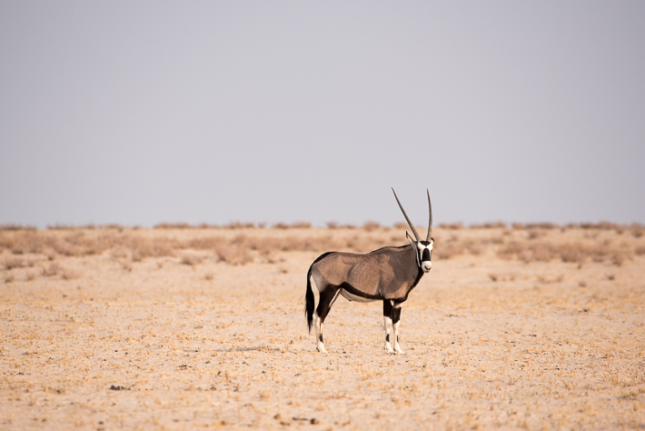Früh morgens, ein Oryx