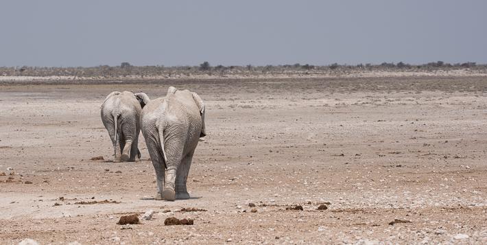Vom Wasserloch zum nächsten: Wandernde Elefanten
