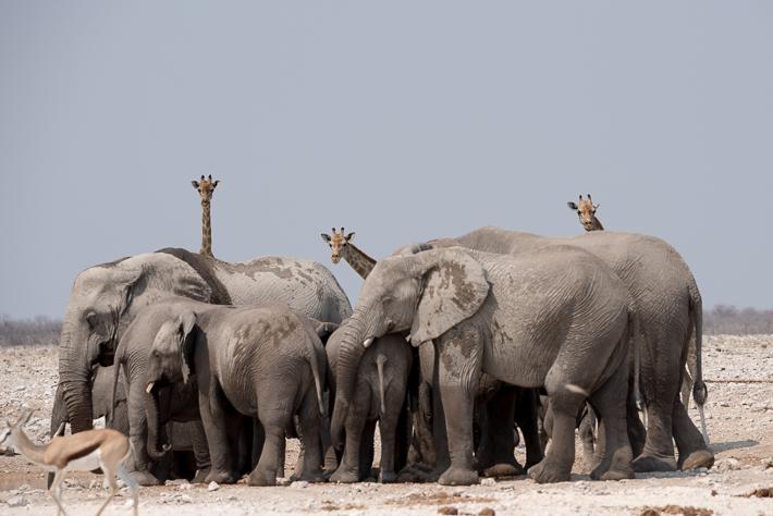 Wenn die Elefanten kommen, müssen alle anderen weichen!