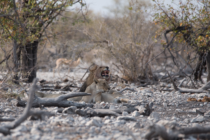 Sehr chillig - drei Löwen im Schatten