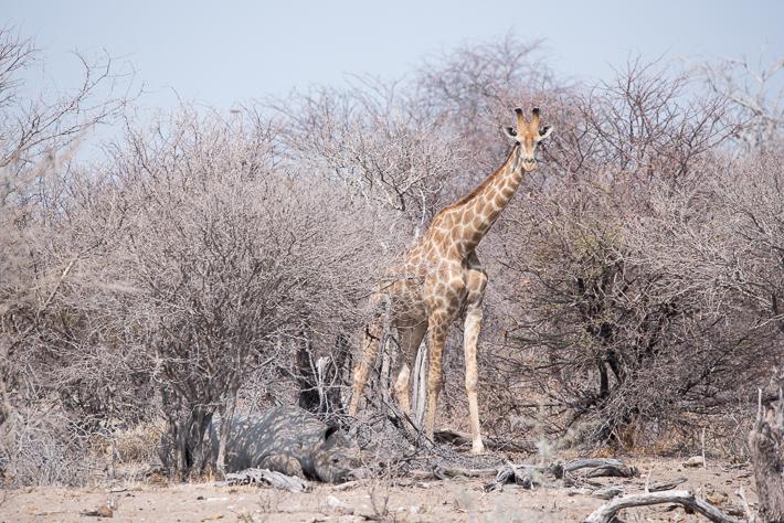 Na, wer sieht außer der Giraffe noch was?