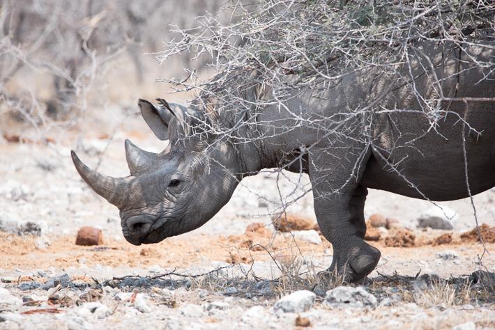 Ein Nashorn!