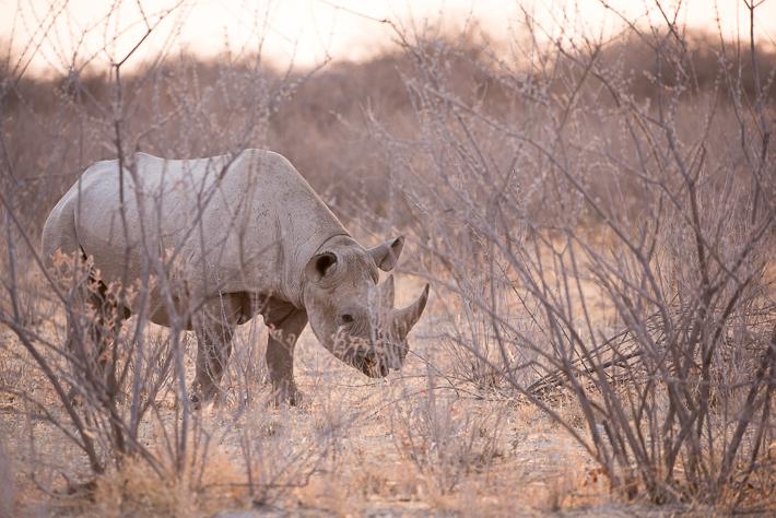 Ein Nashorn im Licht des Sonnenuntergangs