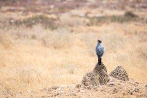 Namibia Etosha-Falke