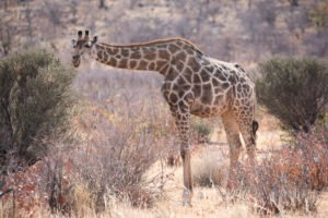 Giraffe Etosha Nationalpark