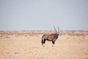 Namibia Etosha Oryxantilopen