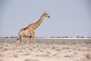 Namibia Etosha Giraffe