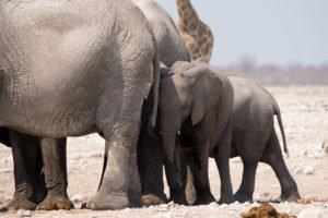 Namibia Etosha Elefanten