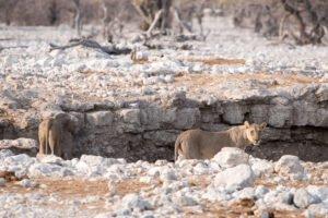 Namibia Etosha Löwen