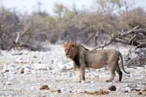 Etosha Nationalpark Löwe