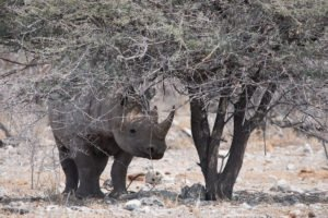 Nashorn Etosha Nationalpark